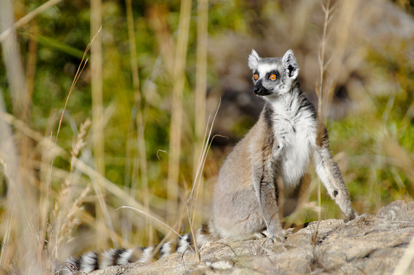 Wild ring-tailed lemur