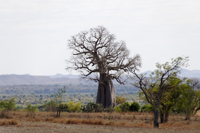 Lanfdscape with Baobab